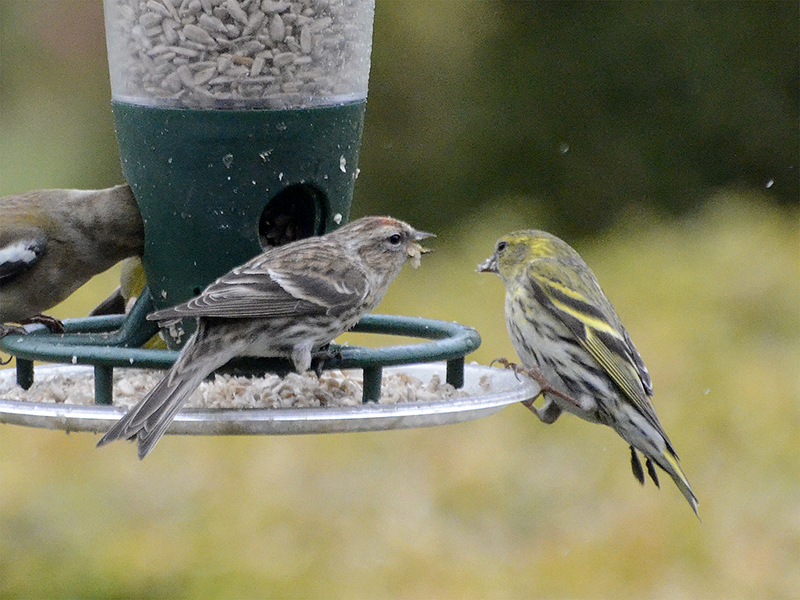 redpoll shouting at siskin