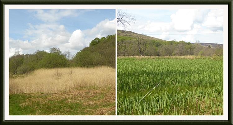 reeds and irises tarras
