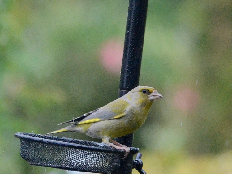 reflective greenfinch