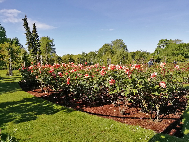 Rose garden regents park