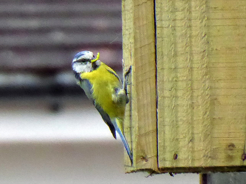 sandy's blue tit