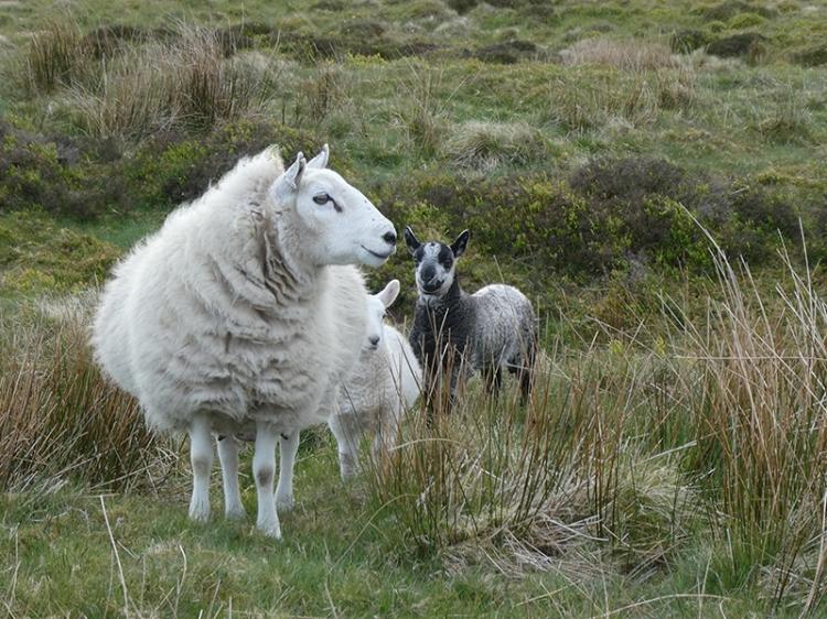 sheep on whita