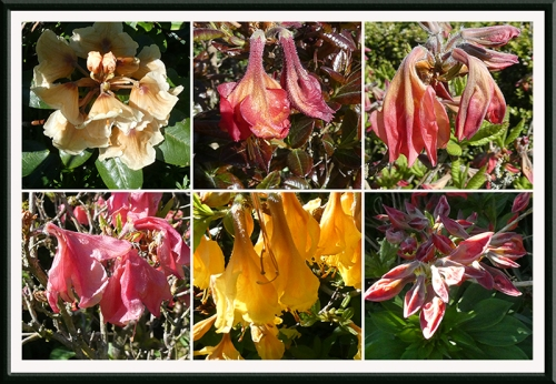 six dead azaleas