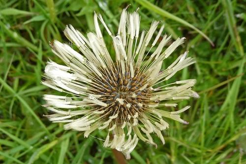 soggy dandelion head