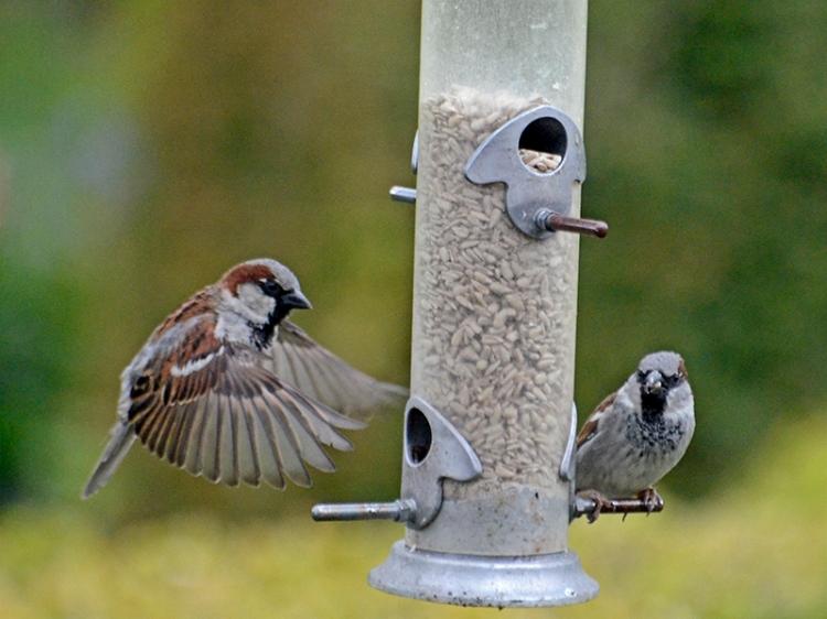 sparrow joining sparrow