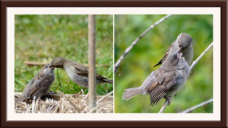 sparrows feeding babies