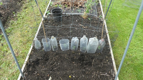 sweet peas planted out