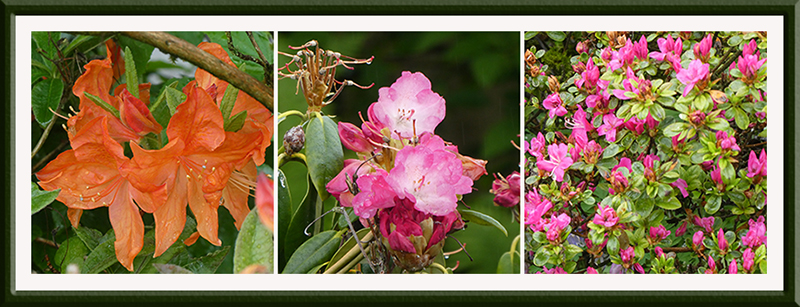 three azalea survivors