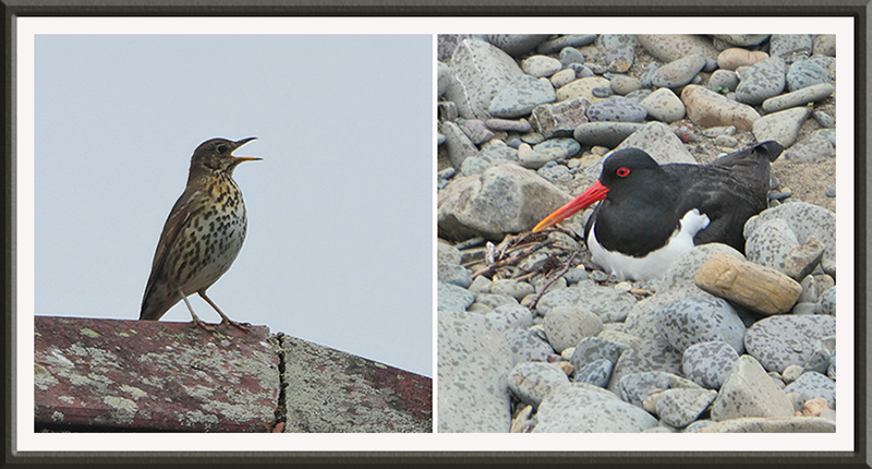 thrush and oyster catcher