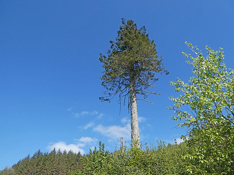 tree above longfauld
