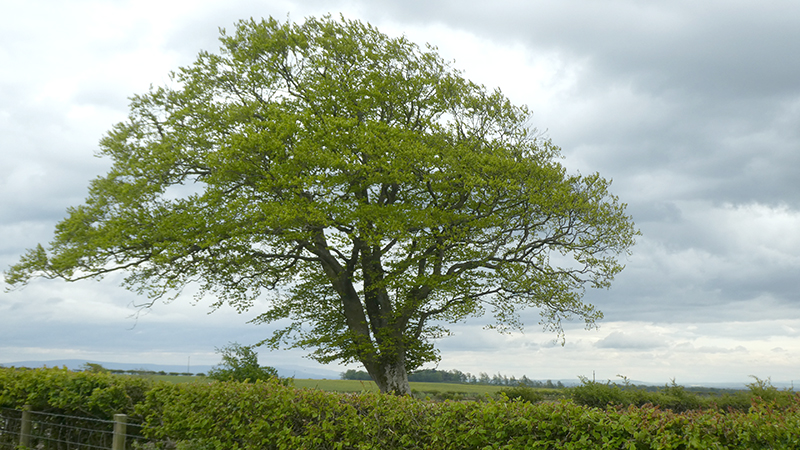 tree tarcoon