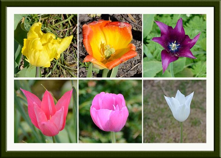 tulip sextet