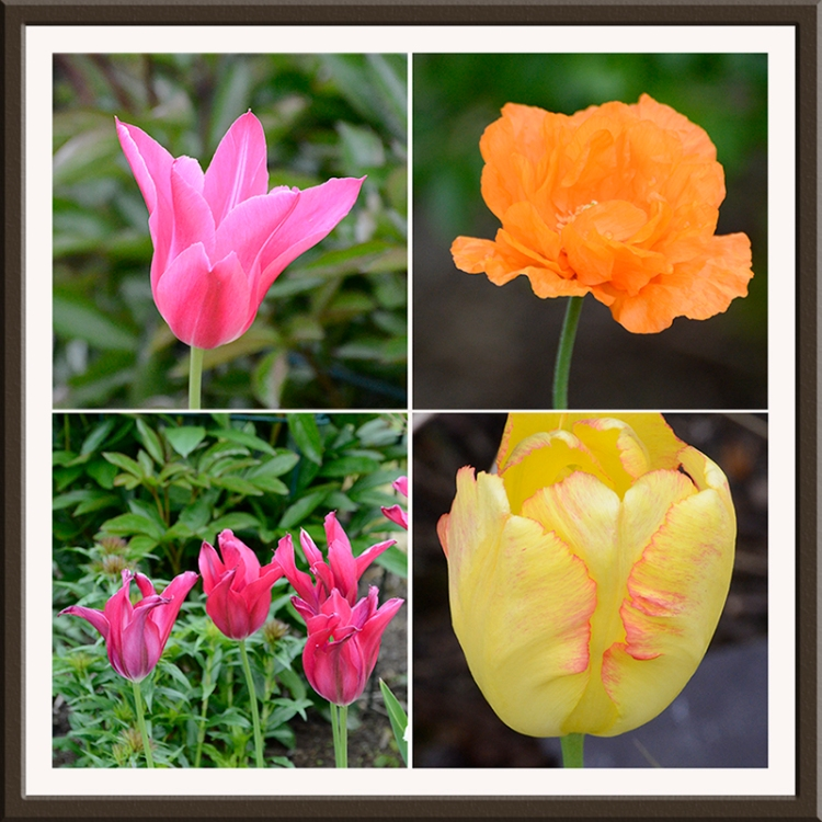 tulips and poppy