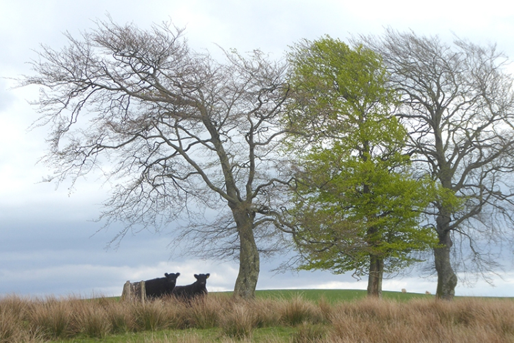 two cows under trees