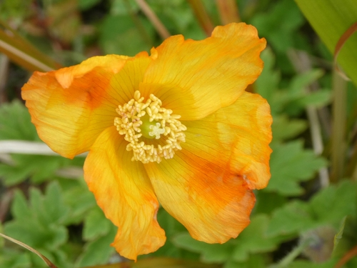 welsh poppy red stripe