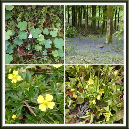 wild flowers longfauld wood